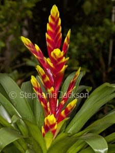 Bromeliad, a Vriesia cultivar, red and yellow bracts and dark green leaves