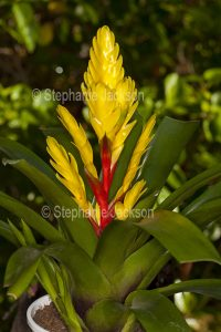 Yellow flower bracts and green foliage of Crab's Claw bromeliad, a Vriesea cultivar.