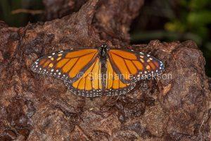 Monarch / wanderer butterfly, Danaus plexippus, on weathered stump.