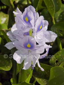 Flowers of Water hyacinth, Eichhornia crassipes, South American aquatic plant, invasive species in Australia