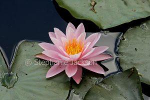 Pink flower of waterlily, Nymphaea species.