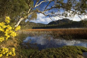 Spectacular landscape with wetands, wattle / acacia flowers, blue sky reflectedf in water among forests at Dunn's swamp in Wollemi National Park in NSW Australia