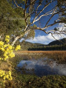 Landscape with wetlands, wattle / acacia flowers, reeds, blue sky and water at Dunn's swamp in Wollemi National Park in NSW Australia