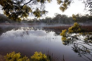 Dawn at wetland, mist rising from water at Dunn's swamp hemmed with wattle / acacia flowers in Wollemi National Park in NSW Australia