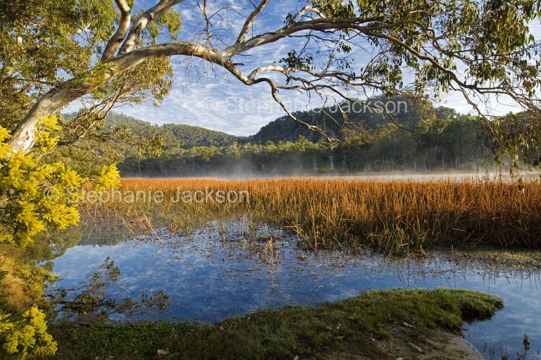 Stunning landscape of wetlands, wattle flowers, mist rising from blue water at Dunn's swamp in Wollemi National Park in NSW Australia