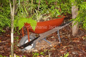 Container gardening - ferns and bromeliads in an old wheelbarrow