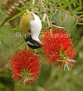 Australian bird, white-throated honeyeater (Melithreptus albogularis) feeding on flowers of callistemon / bottlebrush tree in Queensland Australia