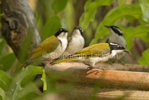 Australian birds, white-throated honeyeaters (Melithreptus albogularis) at garden bird bath in Queensland Australia