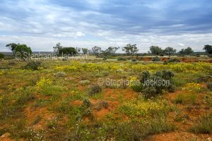Outback landscape with red soil carpetted with wildflowers near Wanaaring in NSW Australia