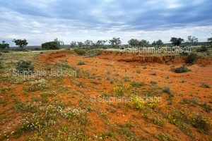 Outback landscape with red soil daubed with wildflowers near Wanaaring in NSW Australia