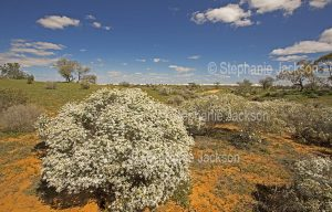 Australian outback landscape dominated by wildflowers, Olearia pimeleoides, mallee daisy bush, at Mungo National Park in NSW.