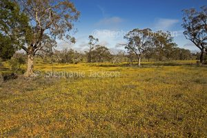Australian outback landscape with carpet of golden wildflowers after rain in Murray Sunset National Park in Victoria Australia