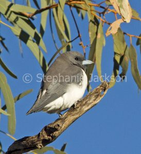 White-breasted Woodswallow, Artamus leucorynchus, in outback / northern South Australia.