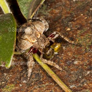 Wrap-around spider, Dolophones species, grasping an insect that is its prey, in Queensland Australia.