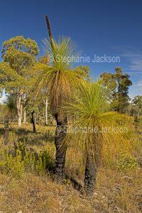 Xanthorrhoea johnsonii, Grass Tree / Black Boy, an Australian native plant.