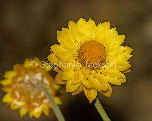 Yellow everlasting / paper daisy, Xenochrysum bracteatum, in Chichester State Forest, NSW Australia.