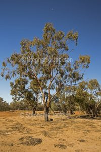 apunyah tree, Eucalyptus ochrophloia, in outback Queensland Australia