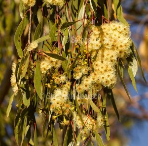 Flowers of Yapunyah tree, Eucalyptus ochrophloia, in outback Queensland Australia