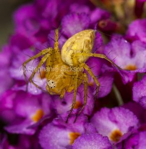 Yellow lynx spider, Oxyopes variabilis, on buddleia flower in Queensland Australia.