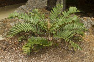 Zamia furfuracea, Cardboard Plant / Zamia Palm, with seed cone.