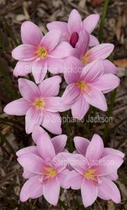 Cluster of pink flowers of Zephyranthes grandiflora syn rosea, Rain Lily