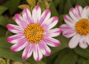 Pink and white striped flower of Zinnia linearis, perennial zinnia.