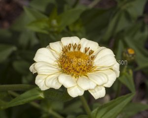 Cream flower of Zinnia, an annual species on green background of foliage