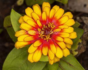 Red and yellow flower of Zinnia grandiflora 'Swizzle'.