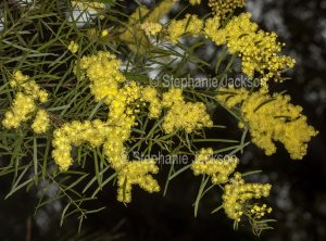 Cluster of flowers of Acacia fimbriata, Brisbane wattle, in Queensland Australia.