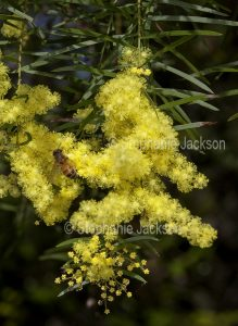 Cluster of flowers of Acacia fimbriata, Brisbane wattle, with bee on yellow blooms. in Queensland Australia.