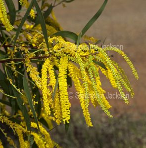 Cluster of wattle / acacia flowers near Clermont in outback Queensland Australia.