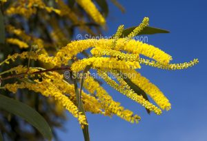 Yellow flowers and green foliage of Acacia species, wattle tree, against blue sky