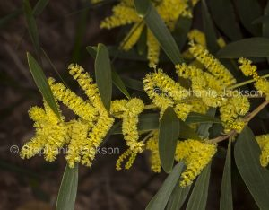 Yellow flowers and green foliage of Acacia species, wattle tree, on dark background