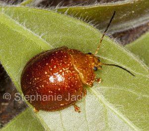 Acacia leaf beetle, Dicranosterna picea, on a leaf in a garden in Queensland Australia
