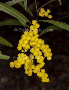 Cluster of golden yellow flowers of Acacia macradenia, Zig Zag Wattle, on dark background, Queensland Australia