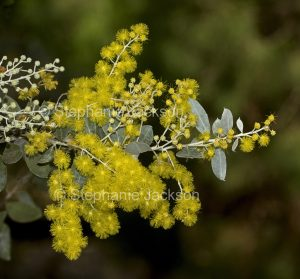 Yellow flowers and foliage of Acacia podalyrifolia, Silver / Mount Morgan Wattle in Queensland Australia.