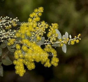 Cluster of yellow flowers, buds and leaves of wattle tree, Acacia podalyrifolia, Mount Morgan / Silver Wattle.