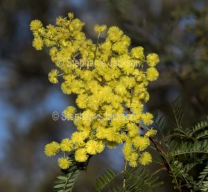 Yellow flowers and green foliage of Acacia spectabilis, Mudgee Wattle at Morton National Park in NSW Australia.
