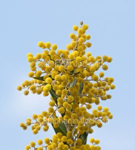 Yellow flowers of Acacia toondulya, waattle tree against blue sky at Port Augusta in South Australia.
