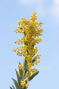 Yellow flowers and grey / green foliage of Acacia toondulya, waattle tree against blue sky at Port Augusta in South Australia.
