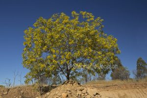 Acacia / wattle tree in bloom in outback Queensland Australia.
