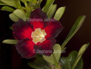 Spectacular and unusual dark red flower of Adenium obtusum, African Desert Rose, a drought tolerant plant.