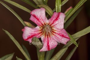 Unusual pink and red striped flower of Adenium obtusum, African Desert Rose, a drought tolerant plant.