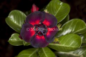 Double dark red flower of Adenium obtusum, 'Black Dragon', African Desert Rose, a drought tolerant plant.