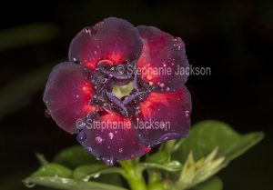Double dark red flower of Adenium obtusum, 'Black Dragon', African Desert Rose, a drought tolerant plant with raindrops on petals - on dark background