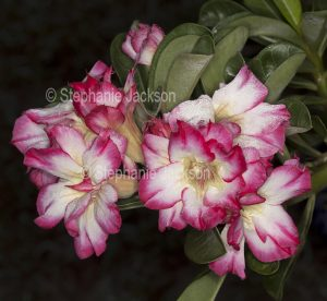 Cluster of double red and white flowers of Adenium obtusum, African Desert Rose, drought tolerant plant. on dark background