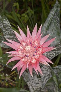 Pink flower bract of a bromeliad, Aechmea fasciata 'Primera'.