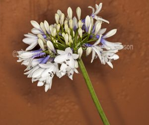 Blue and white flowers of Agapanthus praecox ssp. orientalis'Twister' against background of terracotta wall