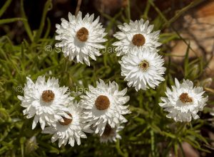 Cluster of white flowers of Ammobium alatum, Everlasting Daisies, in Blackdown Tablelands National Park, Queensland, Australia.