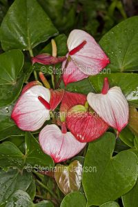Anthurium andreanum 'Princess Amalia Elegance'. with red and white spathe and green leaves